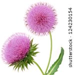 A Flowering Thistle Isolated...