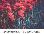 beautiful colorful blue starch...   Shutterstock . vector #1242407383