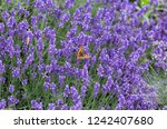 blue blooming lavender | Shutterstock . vector #1242407680