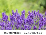 blue blooming lavender | Shutterstock . vector #1242407683