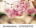 beautiful colorful pink peonies ... | Shutterstock . vector #1242420733