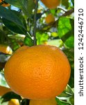 mandarin oranges ripeningon a... | Shutterstock . vector #1242446710