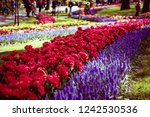 beautiful colorful blue starch...   Shutterstock . vector #1242530536