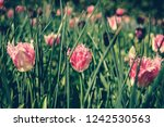 beautiful colorful pink tulips...   Shutterstock . vector #1242530563