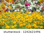 yellow marigold flowers in light | Shutterstock . vector #1242621496