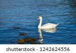 swan swimming on the brienz... | Shutterstock . vector #1242624556