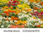 beautiful colored zinnia... | Shutterstock . vector #1242626293