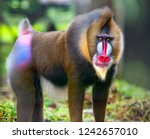 Beautiful Mandrill Portrait...