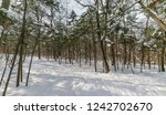 in winter forest at sunny day. | Shutterstock . vector #1242702670