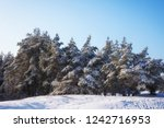 majestic white spruces  covered ... | Shutterstock . vector #1242716953