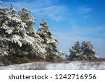 majestic white spruces  covered ... | Shutterstock . vector #1242716956