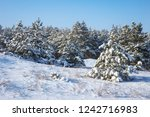 majestic white spruces  covered ... | Shutterstock . vector #1242716983