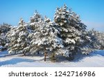 majestic white spruces  covered ... | Shutterstock . vector #1242716986