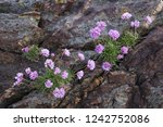 Stock Photo Of Wild Sea Thrift...