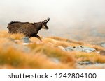 chamois and fog  rupicapra... | Shutterstock . vector #1242804100