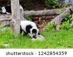 black and white ruffed lemur or ... | Shutterstock . vector #1242854359