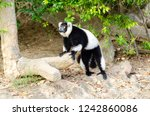 black and white ruffed lemur or ... | Shutterstock . vector #1242860086