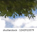 the leaves are covered with sky ... | Shutterstock . vector #1242913579