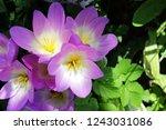 perennial autumn crocus flowers ...   Shutterstock . vector #1243031086