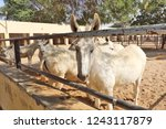 bikaner  india   november 24 ... | Shutterstock . vector #1243117879