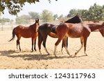 bikaner  india   november 24 ... | Shutterstock . vector #1243117963