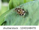 bruchus pisorum   pea weevil ...   Shutterstock . vector #1243148470