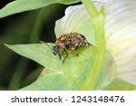 bruchus pisorum   pea weevil ...   Shutterstock . vector #1243148476