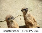 group of meerkat  suricata... | Shutterstock . vector #1243197253