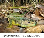 ramarro or green lizard among... | Shutterstock . vector #1243206493