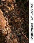 leopard cub lying in tree... | Shutterstock . vector #1243207456