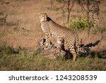 cubs nuzzling under cheetah... | Shutterstock . vector #1243208539