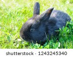 little rabbit on green grass... | Shutterstock . vector #1243245340