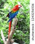 colorful arara parrot at iguazu ... | Shutterstock . vector #1243256536