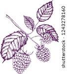 raspberry. illustration of hand ...   Shutterstock .eps vector #1243278160