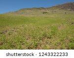 young spring bracken  pteridium ... | Shutterstock . vector #1243322233