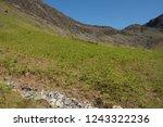 young spring bracken  pteridium ... | Shutterstock . vector #1243322236