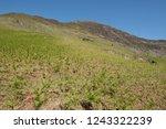 young spring bracken  pteridium ... | Shutterstock . vector #1243322239