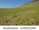 young spring bracken  pteridium ... | Shutterstock . vector #1243322260