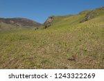 young spring bracken  pteridium ... | Shutterstock . vector #1243322269