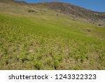 young spring bracken  pteridium ... | Shutterstock . vector #1243322323