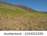 young spring bracken  pteridium ... | Shutterstock . vector #1243322350
