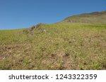 young spring bracken  pteridium ... | Shutterstock . vector #1243322359