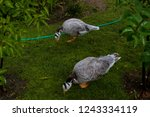 Two Geese Eat Grass