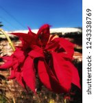 Small photo of Red flower, a gentle reminder that Christmas is just round the corner