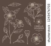 collection of camellia sasanqua ... | Shutterstock .eps vector #1243476703