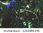 puerto rican coffee farmers ... | Shutterstock . vector #1243485190