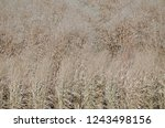 dried tall grass plants in fall | Shutterstock . vector #1243498156