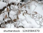 ivy plant covered with... | Shutterstock . vector #1243584370