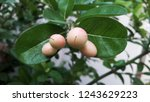 mango lime booze   Shutterstock . vector #1243629223