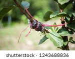 Graft On A Guava Tree